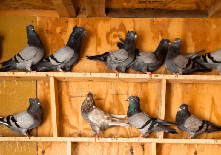 Voliera di design per piccioni